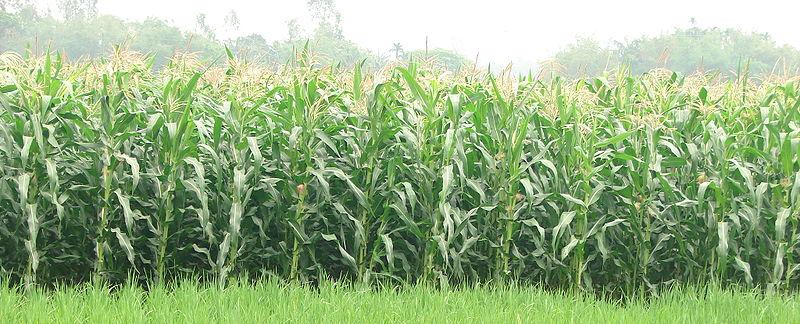 corn research
