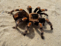 Durham, NC life science researchers found a way to use tarantula venom to stop the death of cartilage cells.