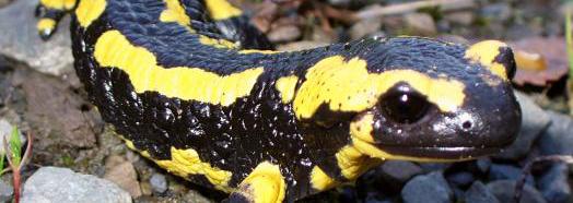 Feuer Salamander 2