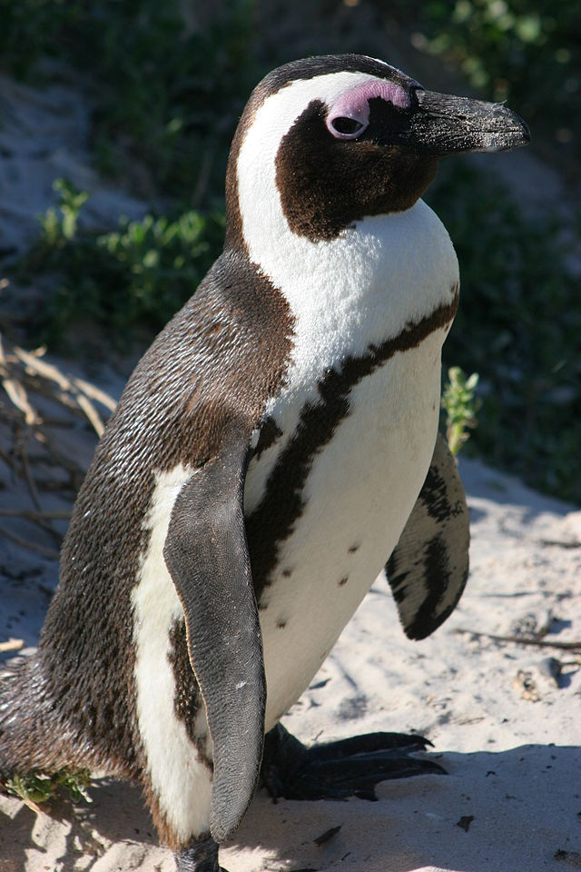 African Penguins like Tess are expected to be extinct in the next 20 years.