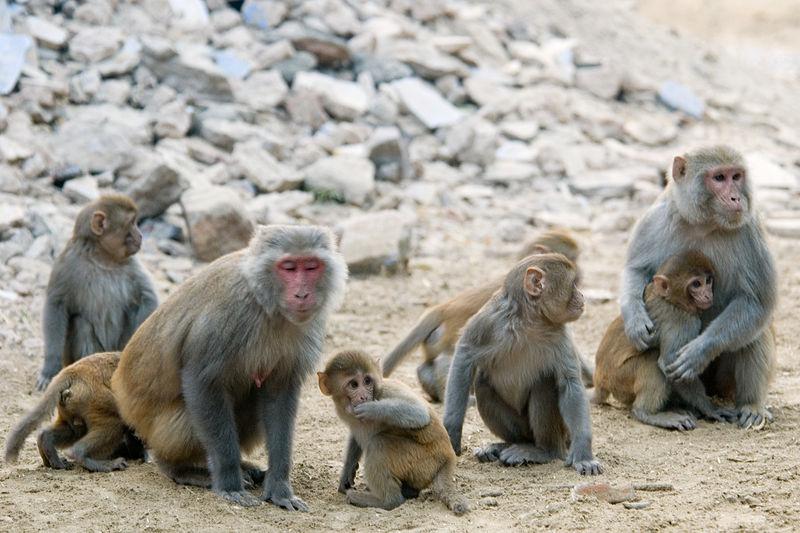 Rhesus Macaques