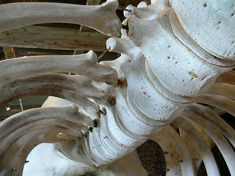 whalespine