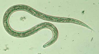 Hookworm_larvaG