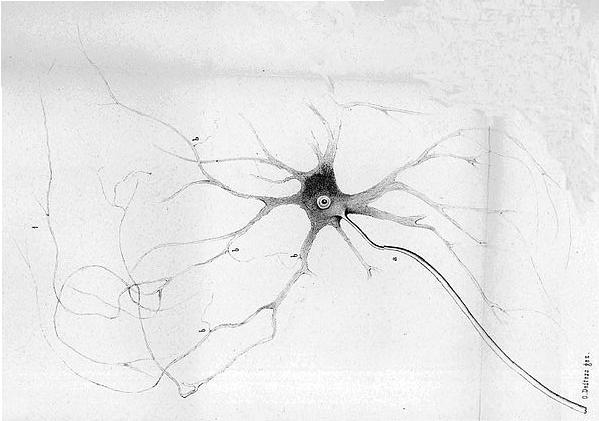 Nerve Axon