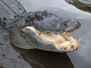 alligator teeth research
