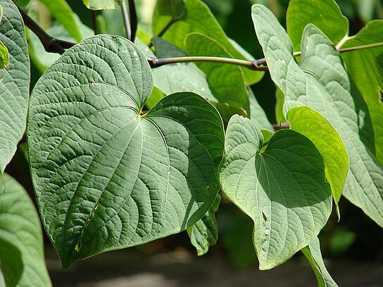 Kava plant, Courtesy of Wikimedia Commons and Forest & Kim Starr