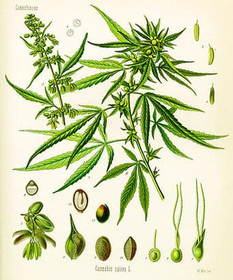 400px-Cannabis_sativa_(Köhler)