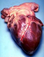 A human heart. Transferred from the English Wikipedia by Ewen, Public Domain, https://commons.wikimedia.org/w/index.php?curid=1750240