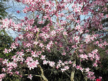 honokiol can be found in the bark of Magnolia Trees, and is used as a remedy in Asia.