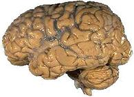 Human_brain_1.jpg