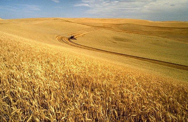 Wheat_harvest_1.jpg