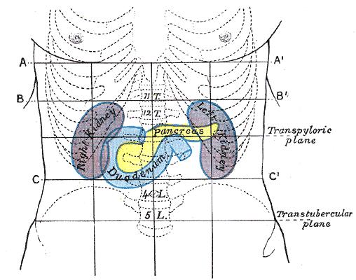 pancreas.png