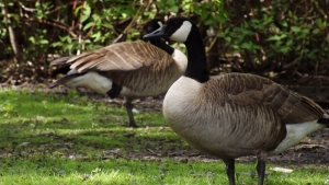 geese-1424572-m