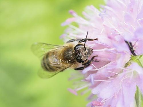 Honeybee_on_Field_Scabious