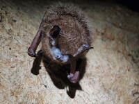 Tri-colored_bat_with_visible_signs_of_WNS_8467561947