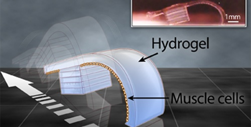 A bio-bot created from rat cardiac cells and hydrogel.