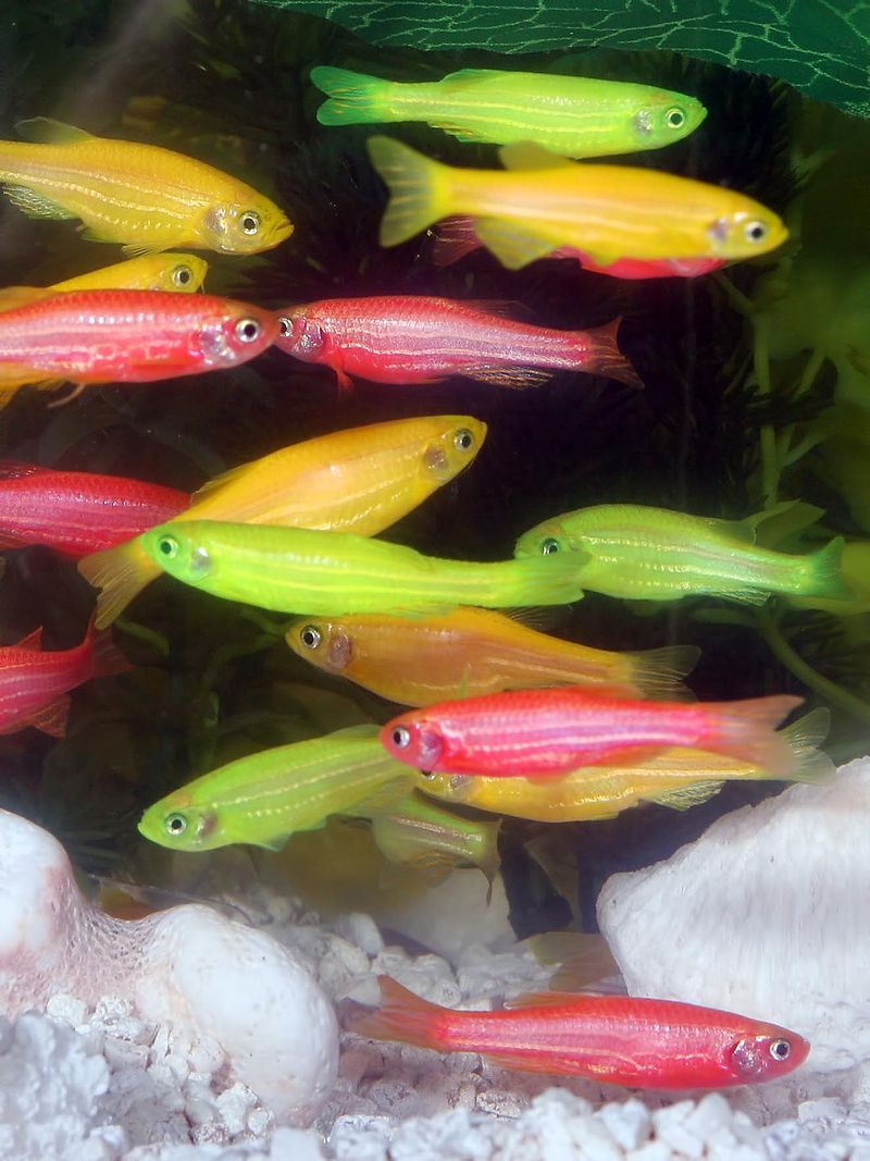 Genetically Engineered Zebrafish, courtesy of www.glofish.com - http://www.glofish.com/images/glofish_005.jpg, Attribution, https://commons.wikimedia.org/w/index.php?curid=1820953