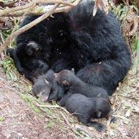 Bear_hibernating